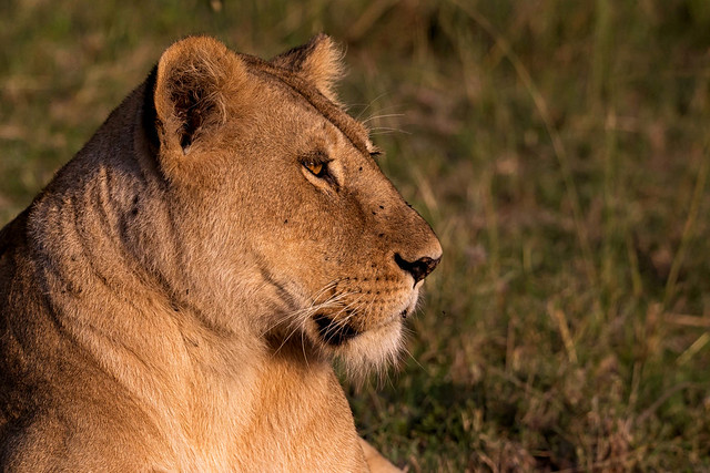 Portrait of a lioness - EXPLORED (July 17, 2019)