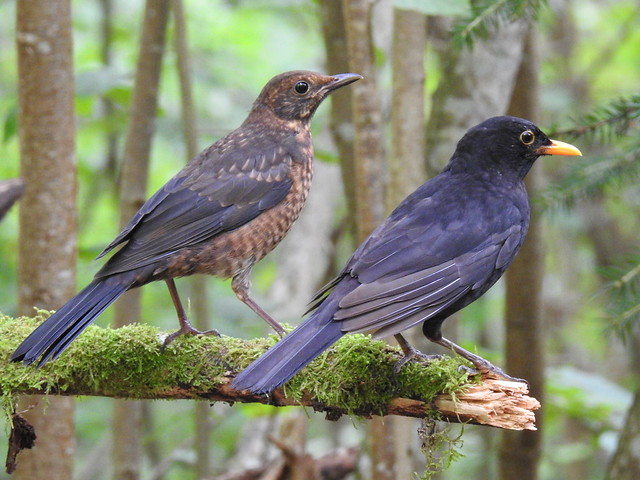 Blackbird (Turdus merula) juvenile and male.