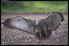 Cape Barren Goose: Protect with Force