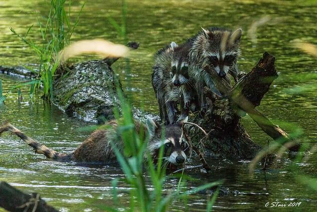 IMG_6684 raccoon family
