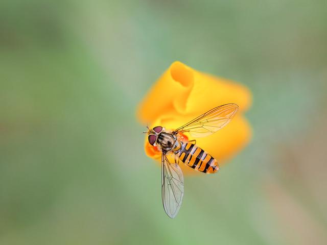 Hoverfly Poppy