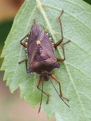 Forest Bug - Pentatoma rufipes