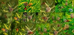 Monarchs and Milkweed_20190715
