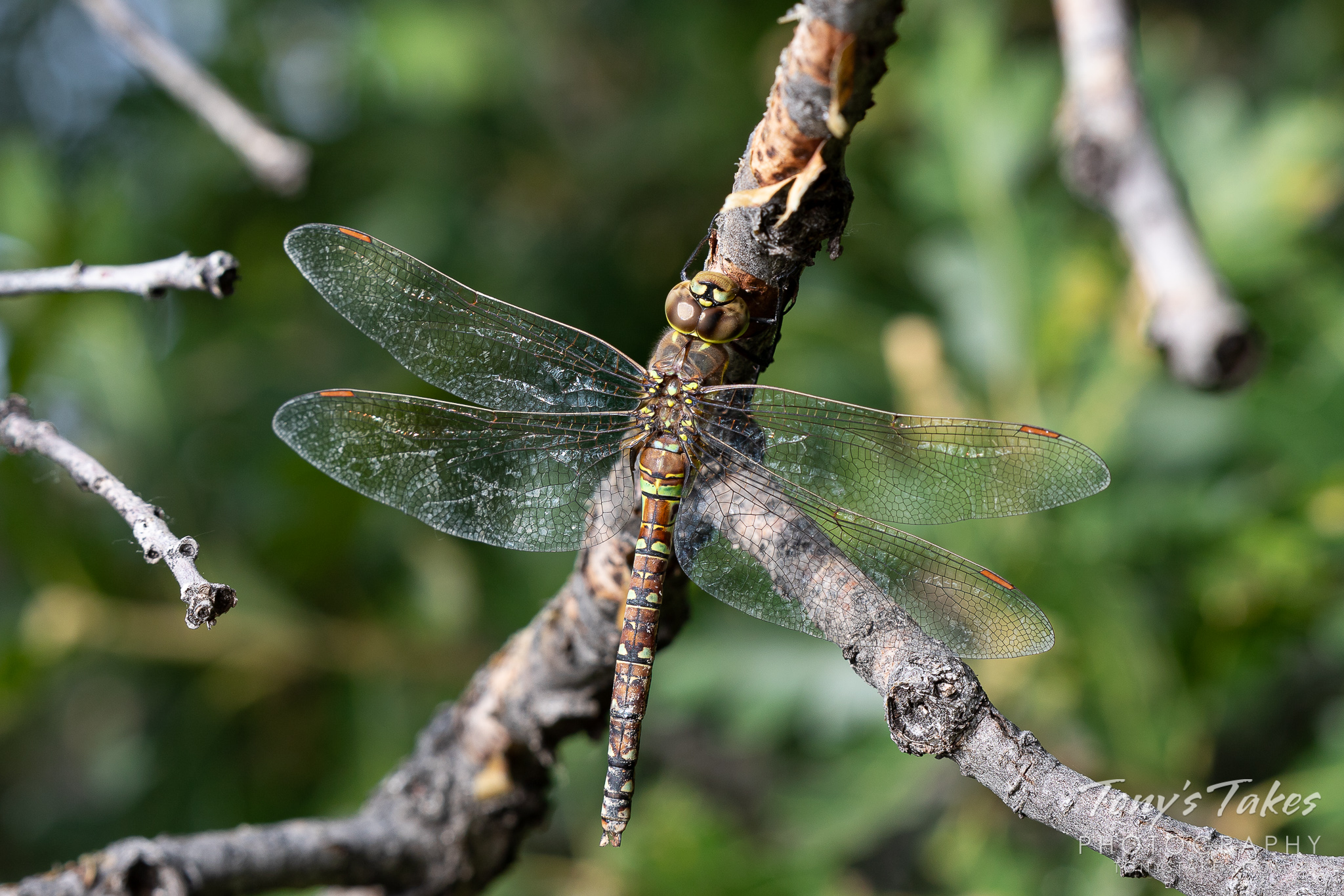 A dragonfly hangs out on a tree branch at Cheyenne Mountain State Park, Colorado. (© Tony's Takes)