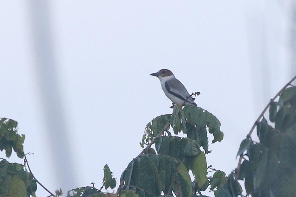 Black-crowned Tityra - Tityra inquisitor - Aguirre, Puntarenas, Costa Rica - June 19, 2019