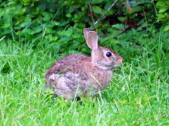 Wild rabbit in my yard 2.