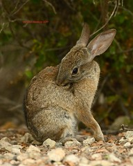 Cottontail preening