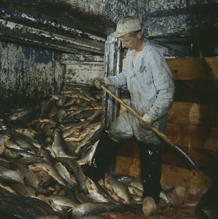 A man wearing coveralls and waders holds a shovel in a room filled with salmon, Vancouver, British Columbia / Un homme portant une salopette et des bottes-pantalon tient une pelle dans une pièce remplie de saumons, à Vancouver (Colombie-Britannique)