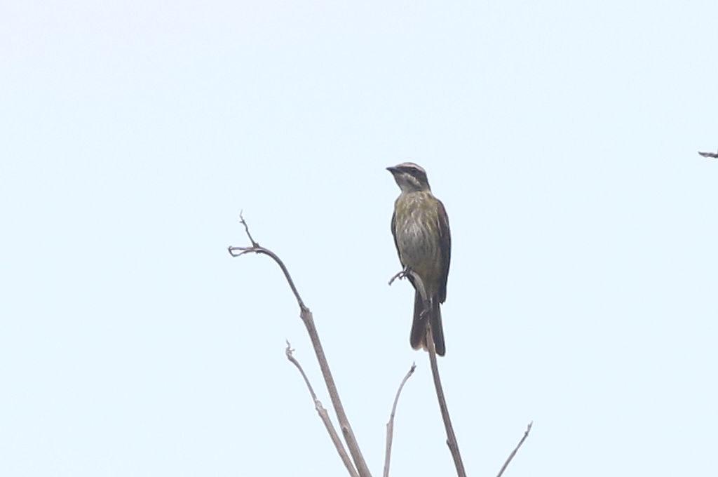Piratic Flycatcher - Legatus leucophaius - Aguirre, Puntarenas, Costa Rica - June 19, 2019