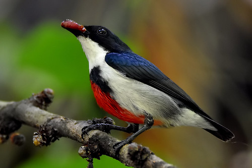 Visayan Flowerpecker (Dicaeum haematostictum) | by Thanks for 4 million views