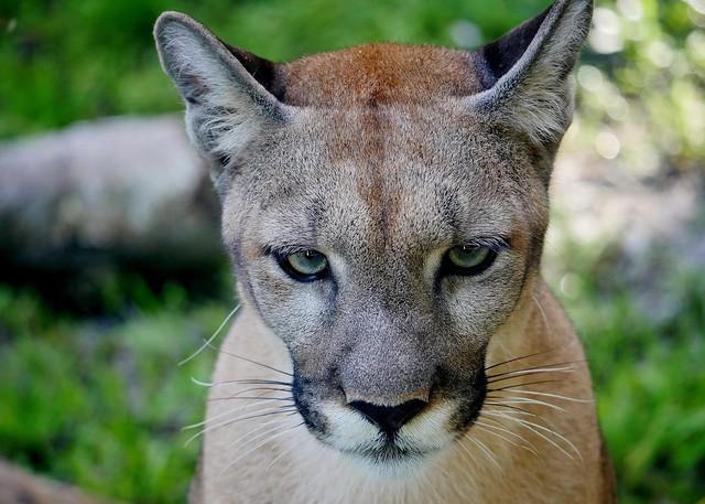 Athena - Florida Panther (Puma concolor coryi)
