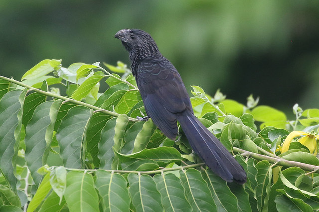 Groove-billed Ani - Crotophaga sulcirostris - Aguirre, Puntarenas, Costa Rica - June 19, 2019