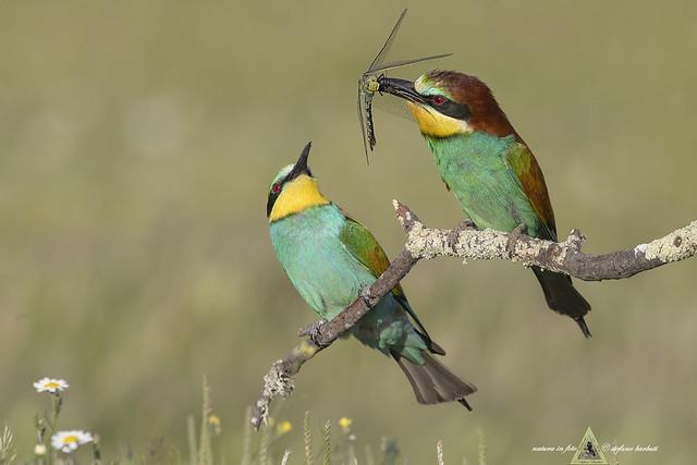 Gruccioni - Merops apiaster -