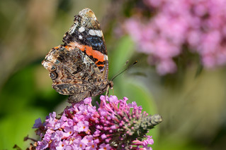 Red Admiral | by JDA-Wildlife