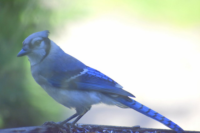 Bluejay at feeder