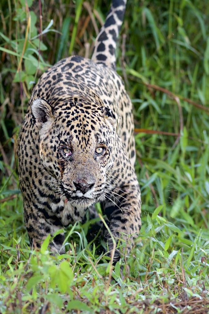 Mean Kitty. Jaguar (Panthera onca), Porto Jofre, Brazil