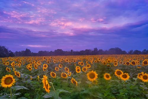 flower mckeebeshers background landscape maryland summer sunflowers sunrise