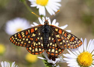 Checkerspot Butterfly, Stolle Meadows, Idaho