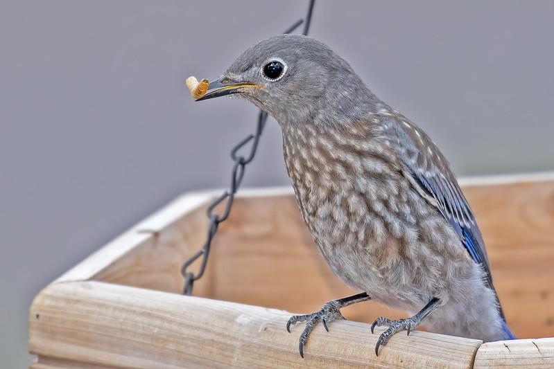 Bluebird-Chick-28-7D2-070519