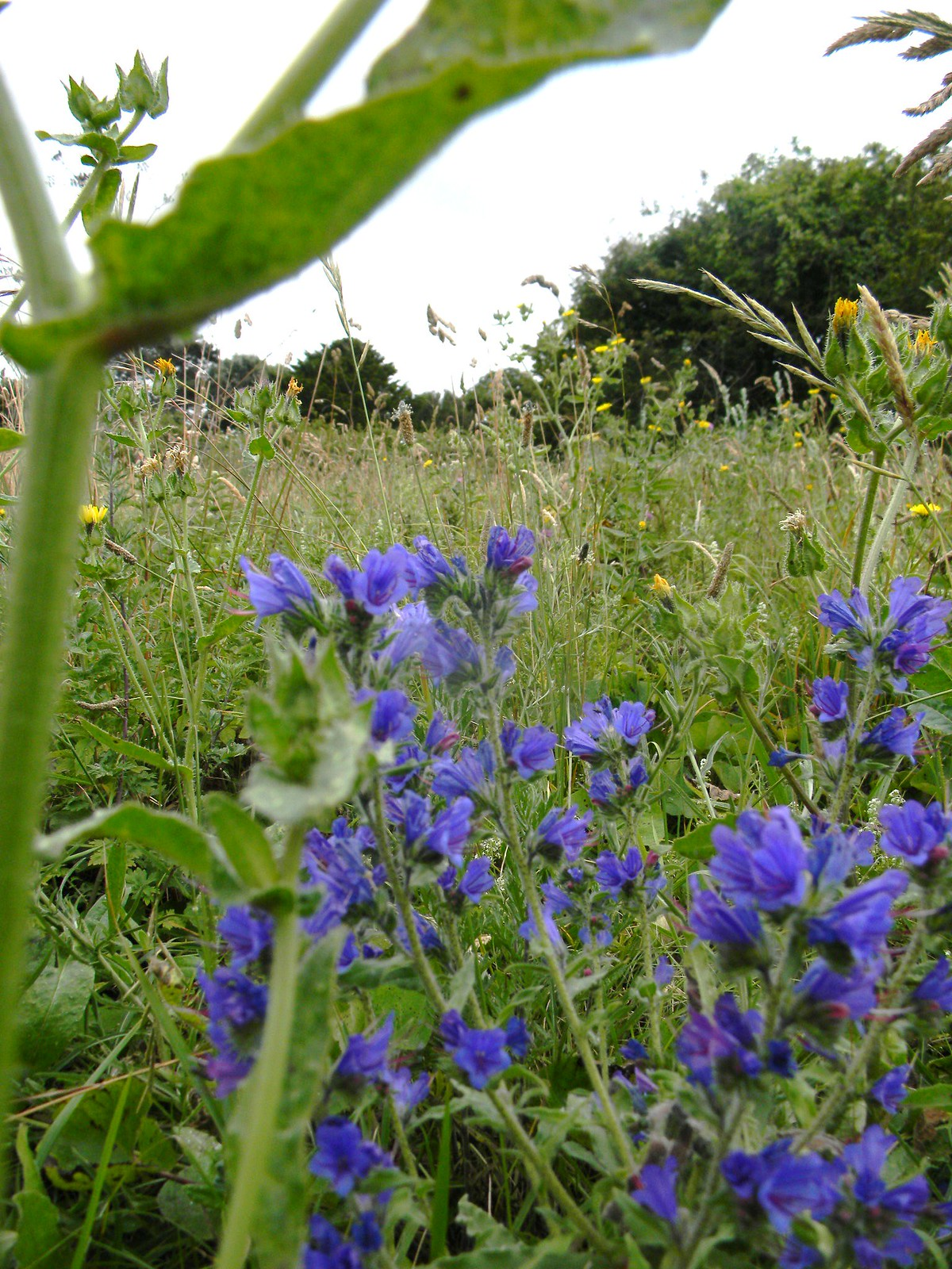 Vipers Bugloss Dover to Deal