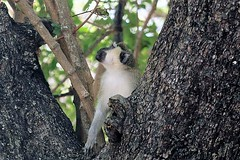 Tantalus monkey, Campement de Tinga, Zakouma National Park, Chad