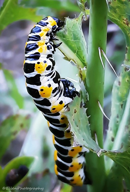 The caterpillar eats and eats and eats ....