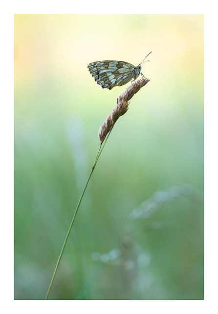 Marbled White - East Dean / July 16th