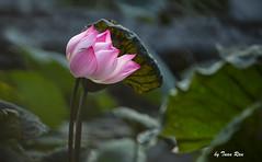 SHF_9951_Lotus