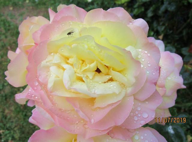 Regentropfen auf einer schönen Rose