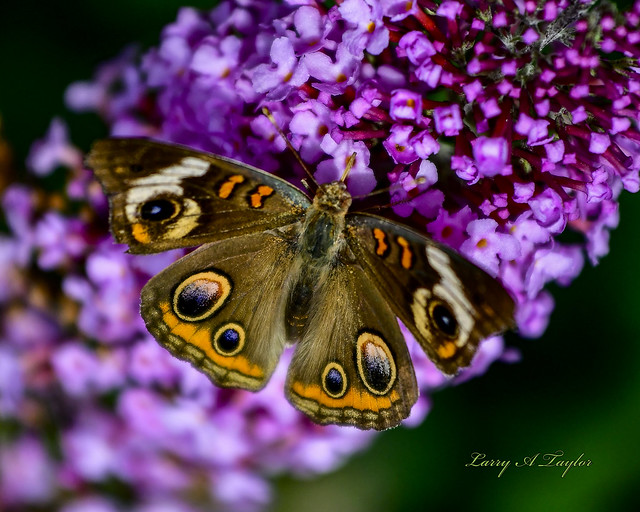 Common Buckeye Butterfly found on Tennessee's Cumberland Plateau.