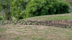 Луговая тиркушка, Glareola pratincola fuelleborni, Collared Pratincole