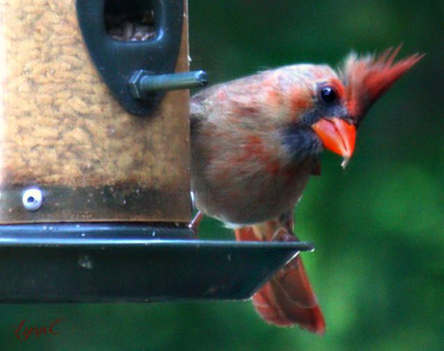 One pretty female cardinal