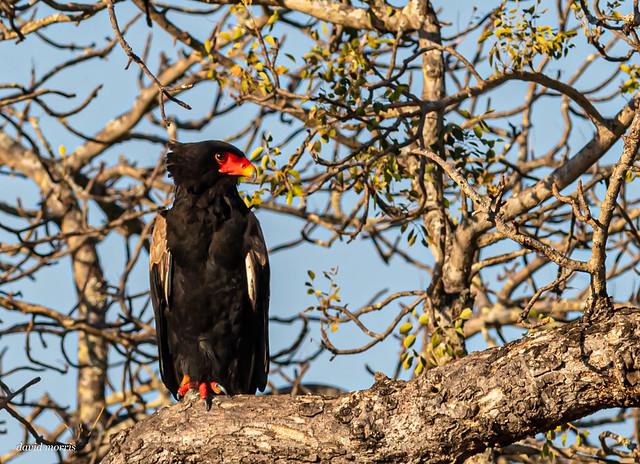 Bateleur - short tailed eagle