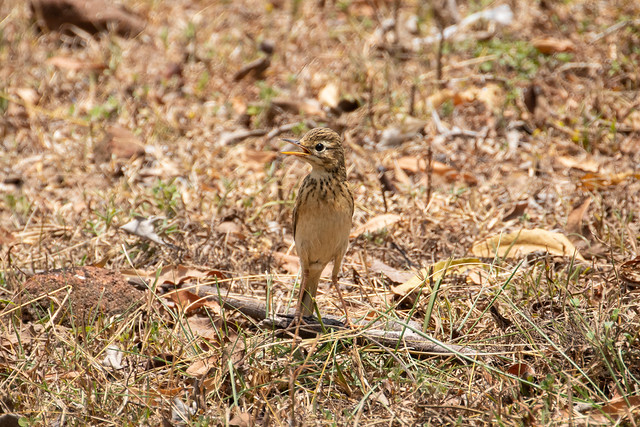 Anthus rufulus ssp. malayanus (Paddyfield Pipit) - Motacillidae - Ancient City of Polonarruwa, Central Province, Sri Lanka