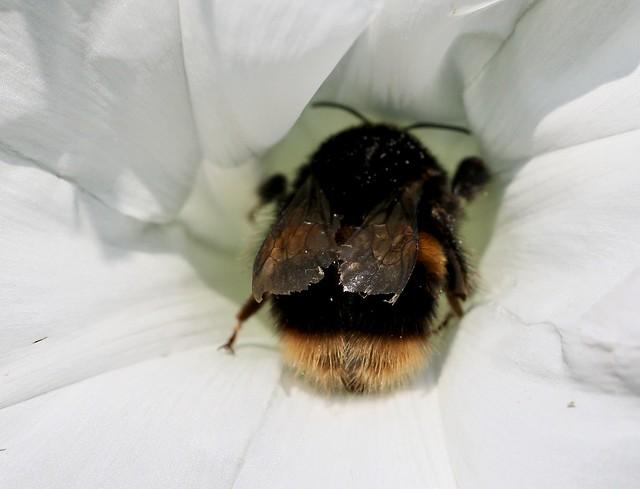 massive queen bee