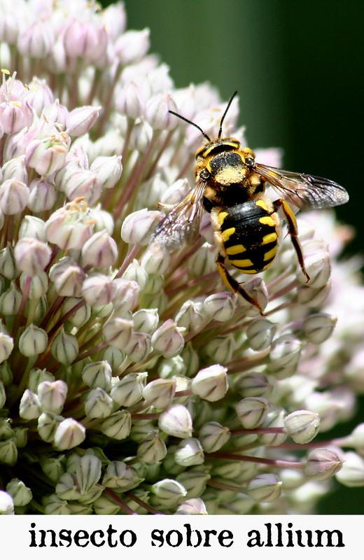 insecto sobre allium