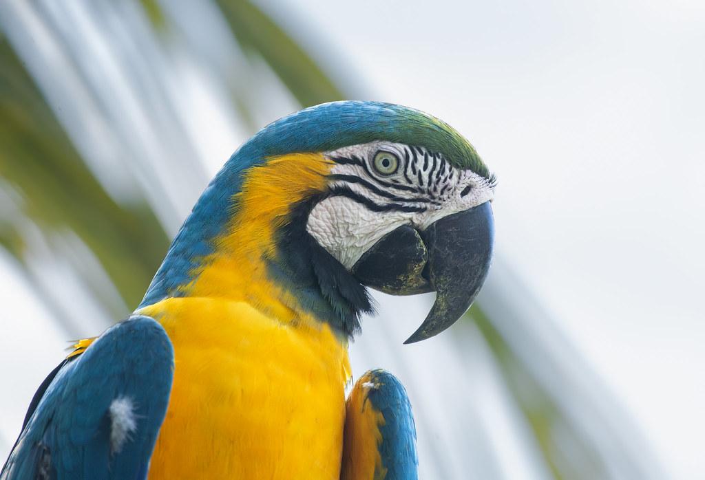 Arara-caninde, Blue-and-yellow Macaw (Ara ararauna)