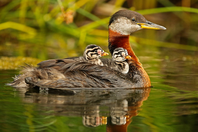 Two Red Necked Grebe Chicks Riding On Parents Back