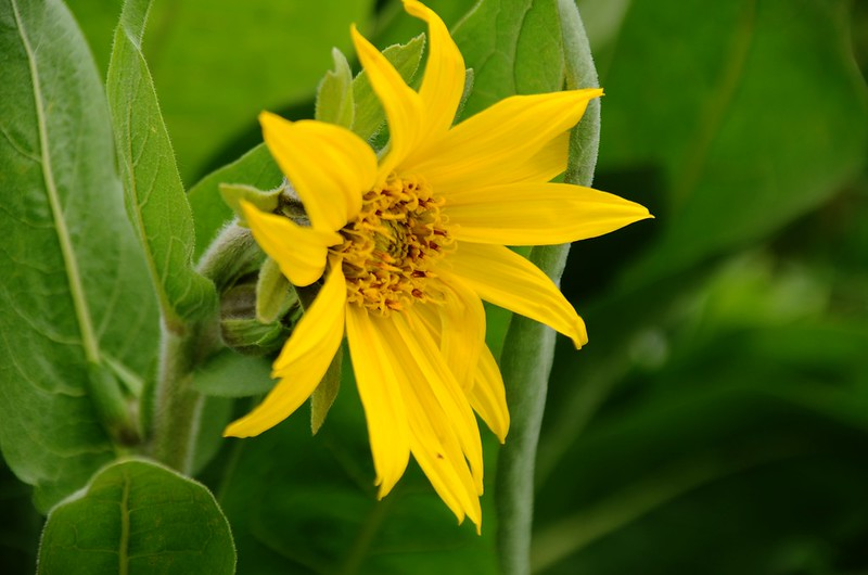 Wyethia(Mule's Ear) (8)
