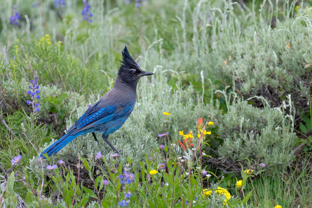 Steller's Jay with Colorado Wildflowers