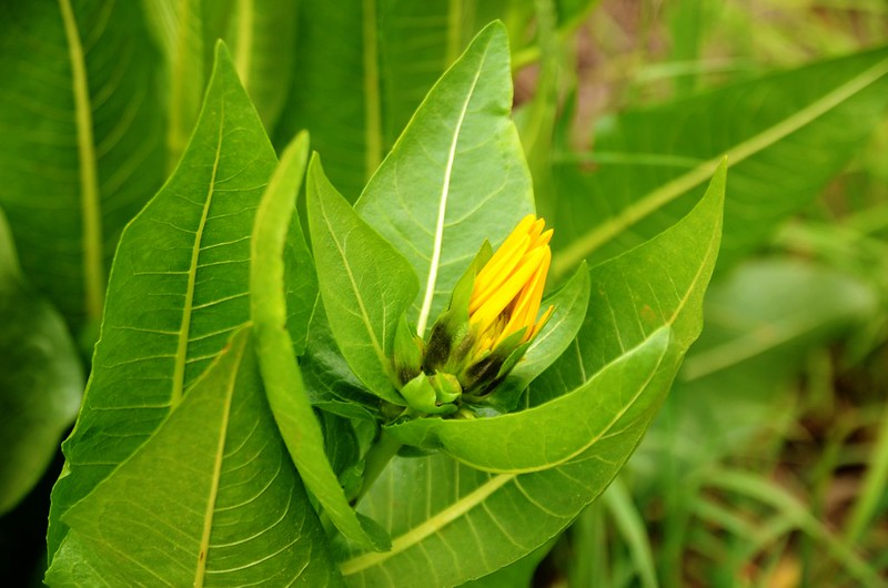 Wyethia(Mule's Ear) (3)