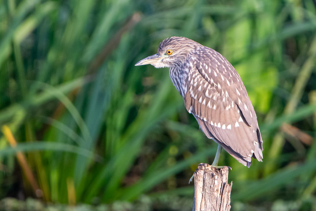Garza bruja - Black-crowned night-heron