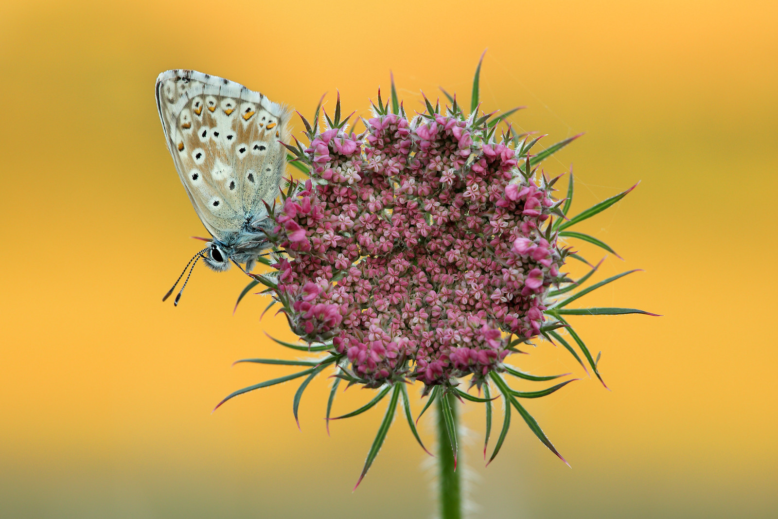 Chalk Hill Blue on Wild Carrot