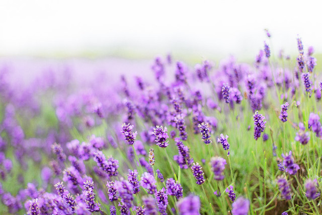 If rosemary is for the spirit, then lavender is for the soul