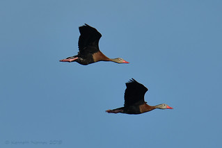 BLACK-BELLIED WHISTLING DUCK 36