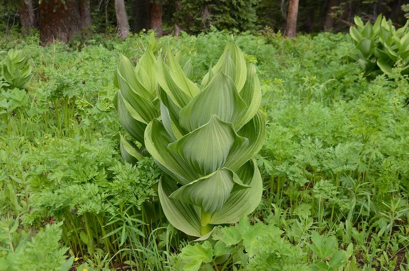 Corn Lily (3)