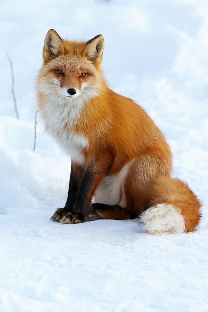 Red Fox Posing Pretty