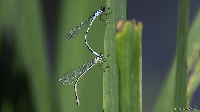 Libellule / Dragonfly