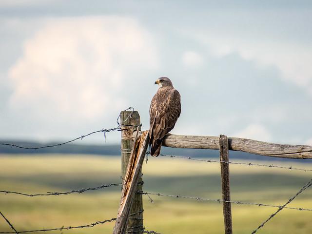 Swainson's Hawk (?)