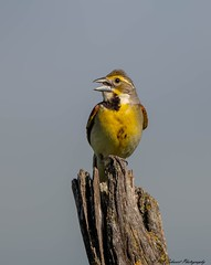 Dickcissel in song - Wabaunsee County, Kansas